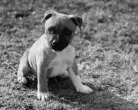 Staffordshire Bull-Terrier Puppy