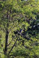 Great Blue Heron in the trees by Trojan pond