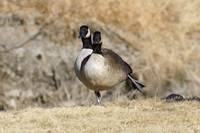 Geese doing exercises