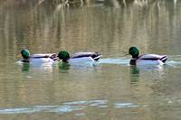 Ducks  Hey guys, Wait for me!