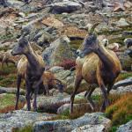"""""""Alpine Goats"""" by BrianKerls"""