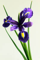 Isolated Iris