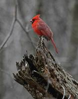 King of Cardinals