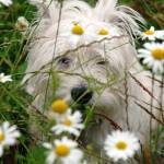 """Daisy Dog"" by shortwork"