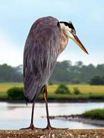 438462171_heron great