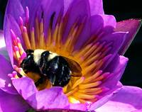 438477195_bee in waterlily