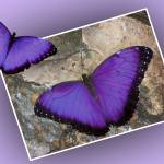 """464101505_purple morpho design large"" by NaturalPhotoz"