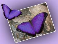 464101505_purple morpho design large