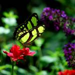 """562830539_green butterfly"" by NaturalPhotoz"