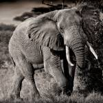 """Bull Elephant"" by useatripod"