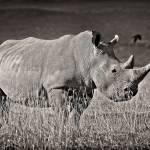 """White Rhino"" by useatripod"