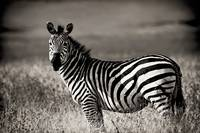 Zebra Profile Zebra Pr...