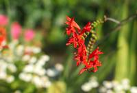 Not Foxgloves (but Crocosmia)