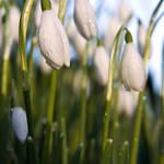 """""""Snowdrops"""" by Skyepix"""