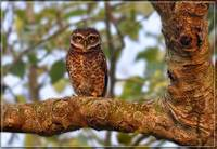 The Spotted Owlet (Athene brama)