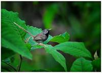 The Striated Prinia (Prinia crinigera)