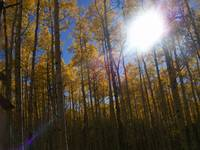 Sun Through Aspens 2