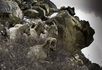 Big Horn Rams in the Rockies