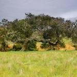 """Oak on Highway 1 California"" by VHarris"