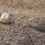 """Prairie Dog Near His Home"" by TheElectricOrphanage"