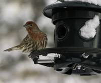 Finch on a Feeder in the Snow