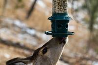 Deer at the Feeder