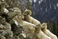 Big Horn Ram on a Mountain Side