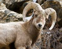 Big Horn Ram (close up)