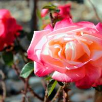 Backyard Rose Art Prints & Posters by C. Wilhite