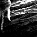 """SkinkClaw"" by Morgue"