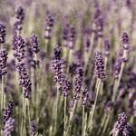 """Lavender field"" by LauraMelis"