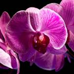 """Pink Orchid 1 (1877)"" by Fotofrieze"