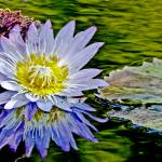 """Purple Flower Water Lily Pond"" by PhotographsByCarolFAustin"