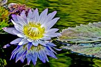 Purple Flower Water Lily Pond