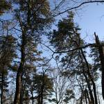 """""""Pine Tree Silhouette.04"""" by JBTurek"""