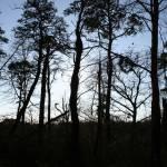 """""""Pine Tree Silhouette.03"""" by JBTurek"""