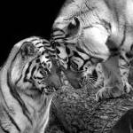"""Tiger Love Siberian Tigers Black and White Print"" by StephsShoes"
