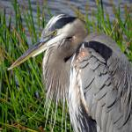 """Blue Grey Heron"" by Acedarter"
