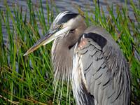 Blue Grey Heron