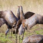 """Sandhill Cranes"" by featherphotos"