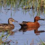 """Cinnamon teal"" by featherphotos"