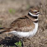 """Ruffled Killdeer"" by featherphotos"
