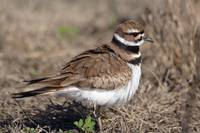 Ruffled Killdeer