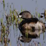 """Pied-billed grebe"" by featherphotos"