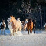 """Horses in snow"" by Inge-Johnsson"
