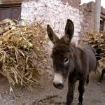 """Donkey - Maras, Peru"" by jaredjared"