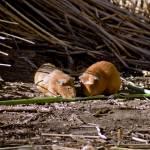 """""""Guinea Pig Livestock Lake Titicaca, Peru"""" by jaredjared"""