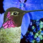 """Hummingbird and Hydrangea"" by robgerman"