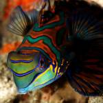 """Mandarin fish"" by mekoo"