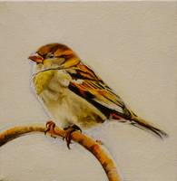 Lady House Sparrow